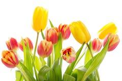 Colorful tulips isolated on white background Royalty Free Stock Photo