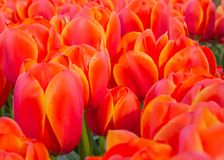 Red tulips in Keukenhof Botanical Garden, Netherlands. A bed of red tulips in Keukenhof Botanical Garden, Netherlands royalty free stock photos