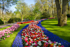 Colorful tulips in the Keukenhof garden, Holland. Flower bed of colourful tulips in spring. Colorful tulips in the Keukenhof garden, Holland Netherlands. Fresh stock photography
