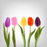Colorful tulips on a light background. Tulips various shapes and colors. Red, purple, yellow, pink, maroon tulips on a light background. Flowers for decoration Royalty Free Stock Photography