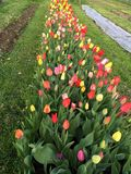 Colorful tulips on a meadow Stock Image