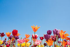 Colorful tulips of the Netherlands Royalty Free Stock Images