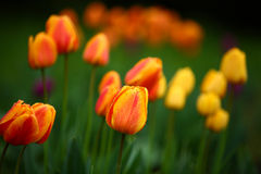 Colorful tulips in the park Stock Photo