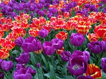 Colorful tulips. In the park Royalty Free Stock Photos