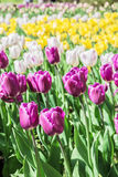 Colorful tulips in park Stock Images