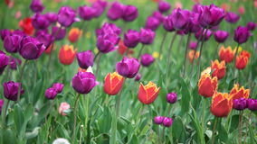 Colorful tulips in the park stock video