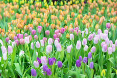 Colorful tulips in the park. Spring landscape. Stock Photography
