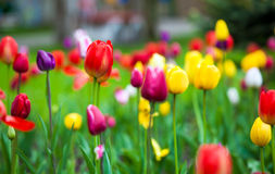 Colorful tulips in the park. Spring outdoor landscape Royalty Free Stock Image