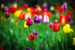 Colorful tulips in the park. Spring outdoor landscape Stock Photography