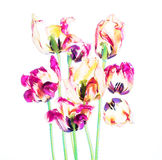 Colorful tulips and petals Stock Images