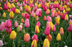 Colorful tulips in rain. Colorful pink yellow and orange tulips in the rain Royalty Free Stock Photography