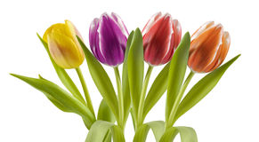 Colorful tulips in a row Royalty Free Stock Photo