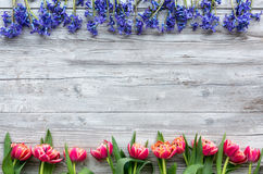 Colorful tulips and scillas stock photos