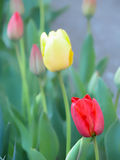 Colorful tulips-selective focus Stock Photos