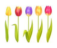 Colorful Tulips Set Isolated on White Background. Yellow orange blue ping and red springtime blooming tulip flowers, first spring flower symbol vector Royalty Free Stock Photos