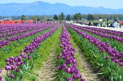 Colorful Tulips in Skagit Valley Tulip Field. The Skagit Valley Tulip Festival is a Tulip festival in the Skagit Valley of Washington state. It is held annually stock photo