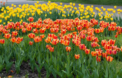 Colorful Tulips in Sprin. Colorful blossoming tulips in Botanic garden in Kiev Stock Image