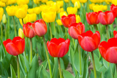 Colorful tulips in spring Royalty Free Stock Image