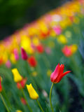 Colorful tulips in spring Royalty Free Stock Photos