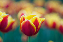 Colorful tulips in spring Stock Image