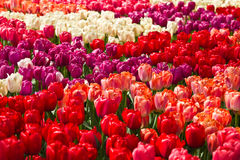 Colorful tulips in spring background Royalty Free Stock Photography