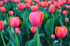 Colorful Tulips in Spring. The colorful tulips in spring, took in Beijing Botanical Garden, China Stock Photography