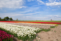 Colorful tulips on spring fields and windmill Stock Photos