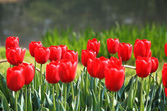 Colorful tulips. In the spring garden Royalty Free Stock Images