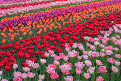 Colorful tulips in spring, Keukenhof, Netherlands Royalty Free Stock Photos
