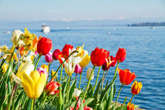 Colorful tulips in spring. Colorful tulips on lake Bodensee, Germany Stock Photography