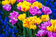 Colorful tulips in spring. Outdoor in garden stock images