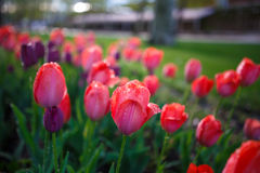 Colorful tulips at spring. In park with drops Stock Photography