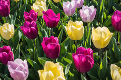 Colorful tulips in spring. Some colorful tulips in spring royalty free stock photos