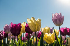 Colorful tulips in spring. Some colorful tulips in spring with blue sky Royalty Free Stock Image
