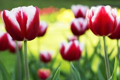 Colorful tulips in spring time Royalty Free Stock Photography