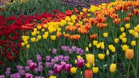 Colorful tulips in spring stock photography