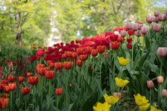 Colorful tulips in spring stock photos