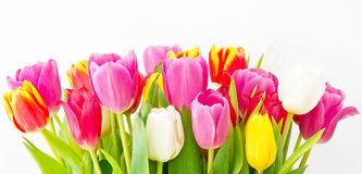 Colorful tulips in spring Royalty Free Stock Images