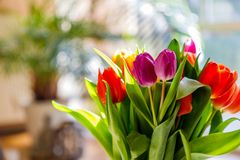 Colorful tulips in the sunlight. On the living room table Royalty Free Stock Image