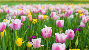 Colorful Tulips on a Sunny Spring Day Stock Photography