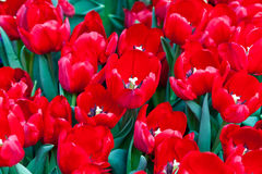 Colorful tulips. The colorful tulips in thailand Royalty Free Stock Photo