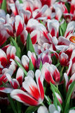 Colorful tulips. The colorful tulips in thailand Stock Photos