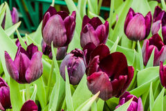 Colorful tulips. The colorful tulips in thailand Stock Images
