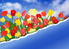 Colorful tulips with torn paper border Stock Image