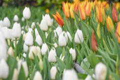 Colorful tulips, tulip time, spring background. Flowers background royalty free stock photos