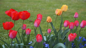 Colorful tulips. tulips in spring, colourful tulip stock video footage