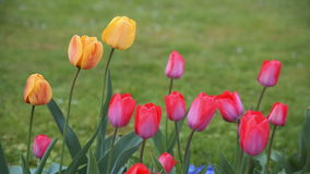 Colorful tulips. tulips in spring, colourful tulip stock footage