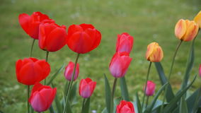 Colorful tulips. tulips in spring, colourful tulip stock video