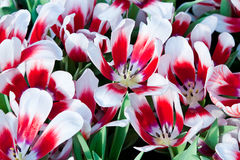 Colorful tulips. The colorful tulipshttp in thailand Stock Images