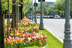Colorful Tulips In Urban Traffic Stock Photography